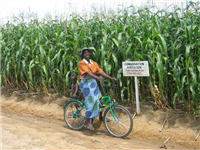 CA 3rd Maize Crop at maturity